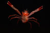 Pelagic red tuna crab. San Diego, California, USA. Image #05396
