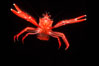 Pelagic red tuna crab. San Diego, California, USA. Image #05398