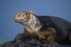 Galapagos land iguana. South Plaza Island, Galapagos Islands, Ecuador. Image #05691