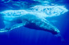 North Pacific humpback whale, escort in competitive group makes fast close pass. Maui, Hawaii, USA. Image #06057