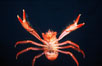 Pelagic red tuna crab, showing appendage hairs, open ocean. San Diego, California, USA. Image #06060