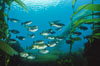 Zebra perch amid kelp forest. San Benito Islands (Islas San Benito), Baja California, Mexico. Image #06196