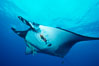 Pacific manta ray with remora and Clarion angelfish. San Benedicto Island (Islas Revillagigedos), Baja California, Mexico. Image #06238