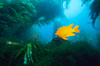 Garibaldi swimming over surfgrass in kelp forest. San Clemente Island, California, USA. Image #06274