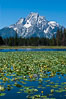 Lilypads cover Heron Pond, Mount Moran in the background. Heron Pond, Grand Teton National Park, Wyoming, USA. Image #07428