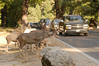 Mule deer pause beside traffic in Yosemite Valley. Yosemite National Park, California, USA. Image #07629