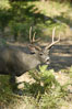 Mule deer, Yosemite Valley. Yosemite National Park, California, USA. Image #07632