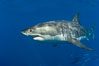 A great white shark swims through the clear waters of Isla Guadalupe, far offshore of the Pacific Coast of Baja California.  Guadalupe Island is host to a concentration of large great white sharks, which visit the island to feed on pinnipeds and tuna. Guadalupe Island (Isla Guadalupe), Baja California, Mexico. Image #07666