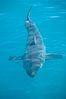 A great white shark swims just below the rippled ocean surface of Isla Guadalupe, far offshore of the Pacific Coast of Baja California. Guadalupe Island (Isla Guadalupe), Baja California, Mexico. Image #07721