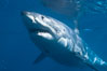 A great white shark swims through the clear waters of Isla Guadalupe, far offshore of the Pacific Coast of Baja California.  Guadalupe Island is host to a concentration of large great white sharks, which visit the island to feed on pinnipeds and tuna. Guadalupe Island (Isla Guadalupe), Baja California, Mexico. Image #07723