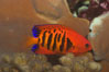 Flame angelfish. Image #07860
