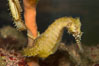 Barbours seahorse. Image #07903
