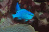 Sapphire devil (blue damselfish), female/juvenile coloration. Image #07917