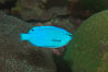 Sapphire devil (blue damselfish), female/juvenile coloration. Image #07918