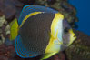 Scribbled angelfish. Image #07921