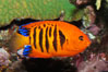 Flame angelfish. Image #08667