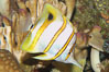 Copperband butterflyfish. Image #08809