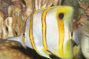 Copperband butterflyfish. Image #08810