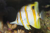 Copperband butterflyfish. Image #08811