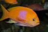 Square-spot fairy basslet, male coloration. Image #08849
