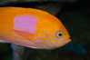 Square-spot fairy basslet, male coloration. Image #08857