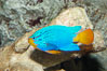 Sapphire devil, male coloration. Image #08906