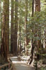 Coastal redwoods and Douglas firs dominate the Muir Woods National Monument north of San Francisco.  Coast redwoods are the worlds tallest living species and second-most massive tree (after the giant Sequoia), reaching 370 ft in height and 22 ft in diameter.  Muir Woods National Monument, Golden Gate National Recreation Area, north of San Francisco. Muir Woods National Monument, California, USA. Image #09074