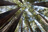 Coastal redwoods and Douglas firs dominate the Muir Woods National Monument north of San Francisco.  Coast redwoods are the worlds tallest living species and second-most massive tree (after the giant Sequoia), reaching 370 ft in height and 22 ft in diameter.  Muir Woods National Monument, Golden Gate National Recreation Area, north of San Francisco. Muir Woods National Monument, California, USA. Image #09075