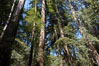 Coastal redwoods and Douglas firs dominate the Muir Woods National Monument north of San Francisco.  Coast redwoods are the worlds tallest living species and second-most massive tree (after the giant Sequoia), reaching 370 ft in height and 22 ft in diameter.  Muir Woods National Monument, Golden Gate National Recreation Area, north of San Francisco. Muir Woods National Monument, California, USA. Image #09076