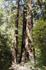 Coastal redwoods and Douglas firs dominate the Muir Woods National Monument north of San Francisco.  Coast redwoods are the worlds tallest living species and second-most massive tree (after the giant Sequoia), reaching 370 ft in height and 22 ft in diameter.  Muir Woods National Monument, Golden Gate National Recreation Area, north of San Francisco. Muir Woods National Monument, California, USA. Image #09078