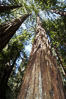 Coastal redwoods and Douglas firs dominate the Muir Woods National Monument north of San Francisco.  Coast redwoods are the worlds tallest living species and second-most massive tree (after the giant Sequoia), reaching 370 ft in height and 22 ft in diameter.  Muir Woods National Monument, Golden Gate National Recreation Area, north of San Francisco. Muir Woods National Monument, California, USA. Image #09079
