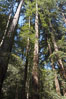 Coastal redwoods and Douglas firs dominate the Muir Woods National Monument north of San Francisco.  Coast redwoods are the worlds tallest living species and second-most massive tree (after the giant Sequoia), reaching 370 ft in height and 22 ft in diameter.  Muir Woods National Monument, Golden Gate National Recreation Area, north of San Francisco. Muir Woods National Monument, California, USA. Image #09080