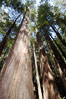 Coastal redwoods and Douglas firs dominate the Muir Woods National Monument north of San Francisco.  Coast redwoods are the worlds tallest living species and second-most massive tree (after the giant Sequoia), reaching 370 ft in height and 22 ft in diameter.  Muir Woods National Monument, Golden Gate National Recreation Area, north of San Francisco. Muir Woods National Monument, California, USA. Image #09081