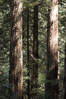 Coastal redwoods and Douglas firs dominate the Muir Woods National Monument north of San Francisco.  Coast redwoods are the worlds tallest living species and second-most massive tree (after the giant Sequoia), reaching 370 ft in height and 22 ft in diameter.  Muir Woods National Monument, Golden Gate National Recreation Area, north of San Francisco. Muir Woods National Monument, California, USA. Image #09082