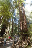 Coastal redwoods and Douglas firs dominate the Muir Woods National Monument north of San Francisco.  Coast redwoods are the worlds tallest living species and second-most massive tree (after the giant Sequoia), reaching 370 ft in height and 22 ft in diameter.  Muir Woods National Monument, Golden Gate National Recreation Area, north of San Francisco. Muir Woods National Monument, California, USA. Image #09083