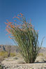 Ocotillo ablaze with springtime flowers. Ocotillo is a dramatic succulent, often confused with cactus, that is common throughout the desert regions of American southwest. Joshua Tree National Park, California, USA. Image #09161