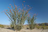 Ocotillo ablaze with springtime flowers. Ocotillo is a dramatic succulent, often confused with cactus, that is common throughout the desert regions of American southwest. Joshua Tree National Park, California, USA. Image #09162
