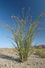 Ocotillo ablaze with springtime flowers. Ocotillo is a dramatic succulent, often confused with cactus, that is common throughout the desert regions of American southwest. Joshua Tree National Park, California, USA. Image #09163