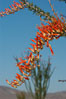 Flower detail on a blooming Ocotillo, springtime. Joshua Tree National Park, California, USA. Image #09164