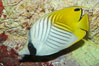 Threadfin butterflyfish. Image #09292