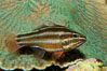 Sevenstriped cardinalfish. Image #09360