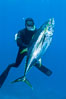 James Tate with yellowfin tuna (approx 60 pounds) taken by breathold diving with a band-power speargun near Abalone Point.  July 2004. Guadalupe Island (Isla Guadalupe), Baja California, Mexico. Image #09600
