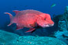 Mexican hogfish, adult male showing fleshy bump on head. Guadalupe Island (Isla Guadalupe), Baja California, Mexico. Image #09606