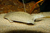 Softshell turtle. Image #09809