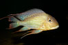 Earth-eating cichlid, native to South American rivers. Image #09820