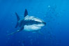 A great white shark underwater.  A large great white shark cruises the clear oceanic waters of Guadalupe Island (Isla Guadalupe). Guadalupe Island (Isla Guadalupe), Baja California, Mexico. Image #10110