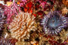 Feather duster worm (left) and aggregating sea anemone (right). Santa Barbara Island, California, USA. Image #10161