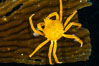 Northern kelp crab crawls amidst kelp blades and stipes, midway in the water column (below the surface, above the ocean bottom) in a giant kelp forest. San Nicholas Island, California, USA. Image #10220