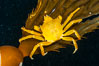 Northern kelp crab crawls amidst kelp blades and stipes, midway in the water column (below the surface, above the ocean bottom) in a giant kelp forest. San Nicholas Island, California, USA. Image #10223