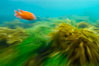 A garibaldi fish (orange), surf grass (green) and palm kelp (brown) on the rocky reef -- all appearing blurred in this time exposure -- are tossed back and forth by powerful ocean waves passing by above.  San Clemente Island. San Clemente Island, California, USA. Image #10238